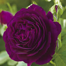 purple roses for sale a whiter shade of pale