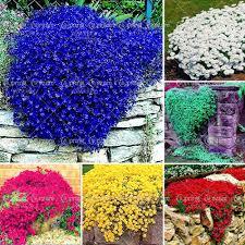 Rock Garden Cground 100pcs Bag Creeping Thyme Seeds Or Blue Rock Cress Seeds Perennial