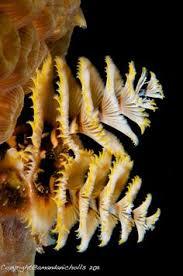 christmas tree worm on rock multicolor aqua pinterest