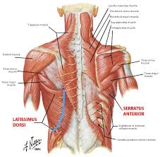 Anatomy And Physiology The Muscular System Shoulder Blade Muscles Google Search Anatomy Pinterest