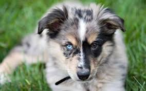 australian shepherd eye color genetics australian shepherd breed profile australian dog lover