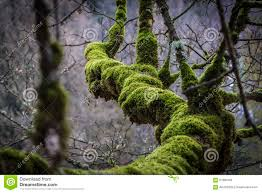 thick moss on tree branch stock photo image 67890168