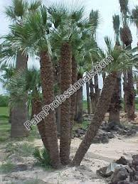 Mediterranean Fan Palm Tree For Sale In Houston Texas Buy Cold
