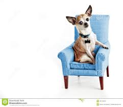 Comfy Chairs For Small Spaces by Cute Sophisticated Chihuahua Sitting In Small Comfy Chair Isolated