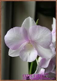 dendrobium orchid plant and flower pictures