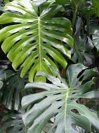 hawaiian plants 4 plant monstera deliciosa tree wrap pkg kens nursery