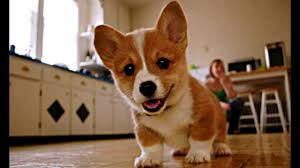 corgi baby corgi puppies who are too cute to be real youtube