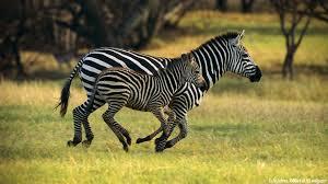 download wallpaper zebras cute animals 1080p full hd wild animals