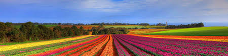 the tulip fields in spring vdq bulbs