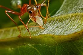 weaver ants pictures national geographic magazine