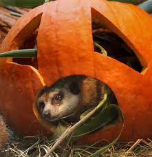 pumpkin bash at woodland park zoo the seattle times