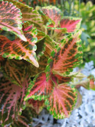 How To Grow Coleus Plants by Coleus A Growing Guide