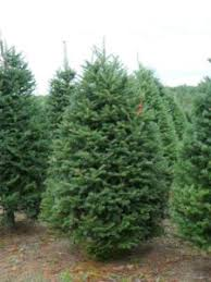 balsam fir christmas tree keep your christmas tree fresher longer with these tips