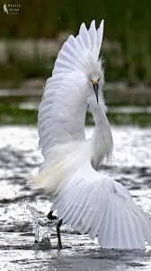 heron meaning best 25 herons ideas on pinterest heron blue heron and grey heron