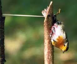 Pettirosso usato come richiamo vivo nella caccia