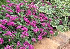 pentas flower pentas graffiti violet pentas graffiti violet gardening