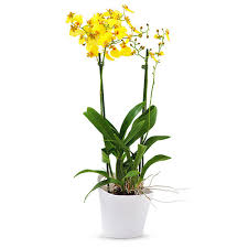oncidium orchid oncidium orchid munsterland yellow delivery in germany