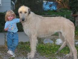 Ireland Photo Album 448 Best Gentle Giants Irish Wolfhounds U003c3 Images On Pinterest