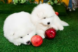 american eskimo dog eating habits can dogs eat apples american kennel club