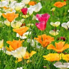 California Poppy California Poppy Seeds Eschscholzia Californica American Meadows