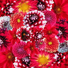 dahlias flowers free photo autumn dahlias flowers blossom free image on