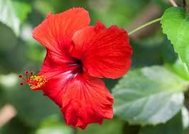 flower for hair best hibiscus flower remedies to hair loss and hair fall