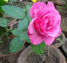 Different Color Roses Meaning Of Color Roses How To Keep Roses Fresh What Does A