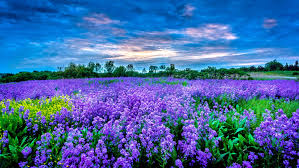 Flower Field Wallpaper - purple flower field full hd wallpaper and background 3603x2032