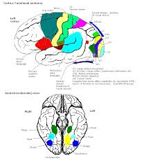 Anterior Association Area Colour Centre Wikipedia