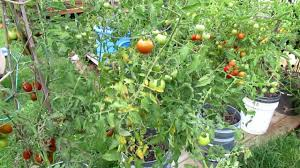 Plant Diseases Identification - how to treat tomato leaf diseases pick and spray youtube