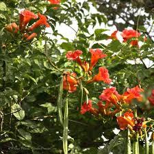 trumpet vine campsis radicans garden org