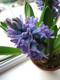 Hyacinth Flower Hyacinth Flower Forcing U0027woodstock U0027 Hyacinth Bulb Indoors