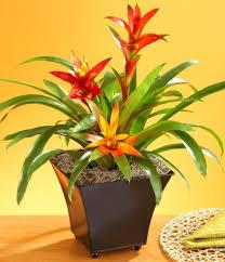 potted bromeliad indoor plants good indoor plants gallery