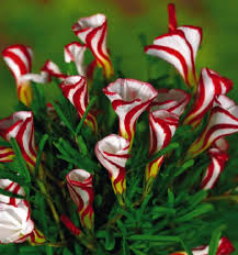 Free Shipping Flowers Aliexpress Com Buy Free Shipping Oxalis Versicolor Flowers Seeds