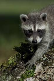 best 25 baby raccoon ideas on pinterest cute little animals