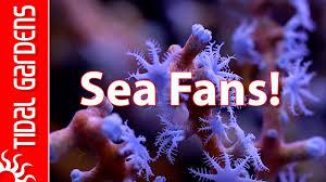 dried sea fans for sale gorgonian sea fan corals youtube