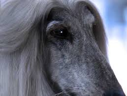 afghan hound calendar 2015 the afghan hound club of america specialty show canine chronicle