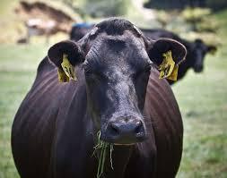 livestock dehorning wikipedia
