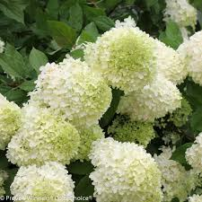 flower hydrangea limelight panicle hydrangea hydrangea paniculata proven winners
