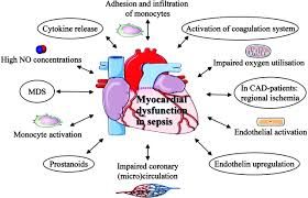 sepsis and the heart circulation