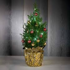 live tabletop christmas tree figi u0027s
