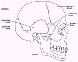Bones That Form The Cranium Chapter 3 Head And Neck Anatomy