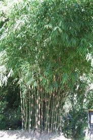 australian native screening plants plants clumping bamboo