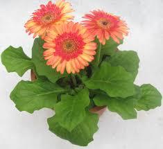 gerbera plant buy gerbera petal mix color flowering plant online at