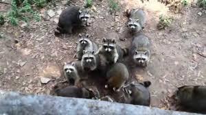 Raccoons In Backyard Raccoon Family Youtube