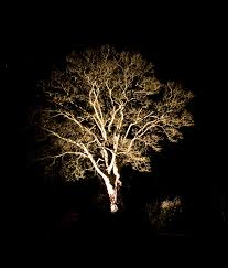 low voltage uplighting of trees read more http www flood light