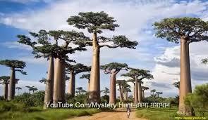 cool trees cool beauty of nature strange trees album on imgur