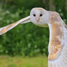 barn owl calm zoo