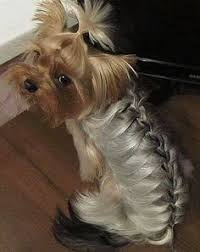 pictures of shorkie dogs with long hair mahaha a french braided dog french braid can be done on anyone