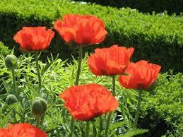 papaver orientale of livermere poppy